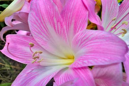 Belladonnaamaryllis la palma travel for Amaryllis belladonna vente