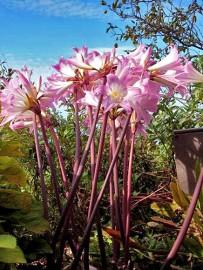 azucena-belladonnaamaryllis-amaryllis-belladonna-flor
