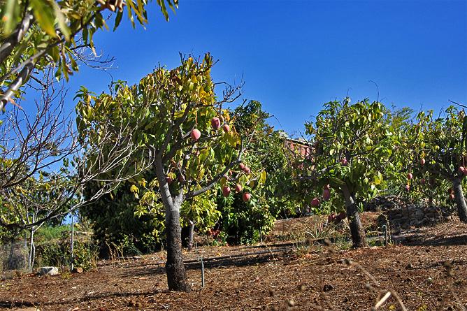 buracas-las-tricias-garafia-la-palma-37-frutales