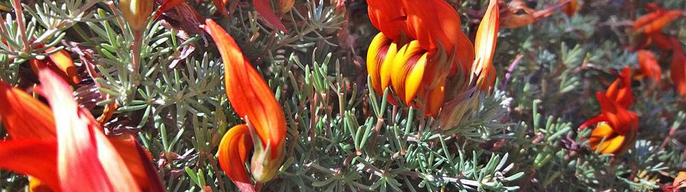 Feuerschnabel / pico de fuego / Feuerhornklee / lotus pyranthus | La Palma Travel