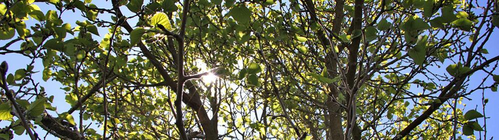 Maulbeerbaum auf der Kanareninsel | La Palma Travel