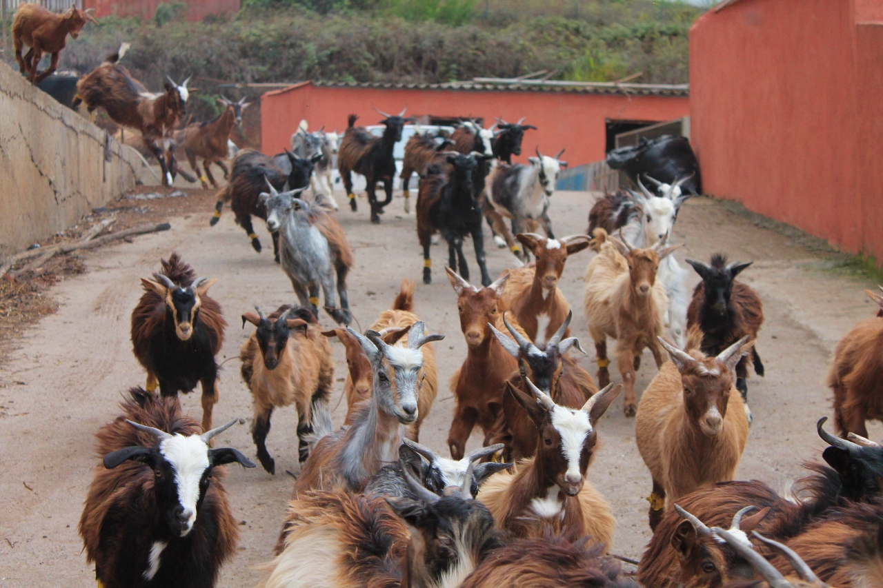granja-los-tumbitos-barlovento-brenda-rodriguez-cabras